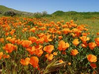 Orange Poppy Patch