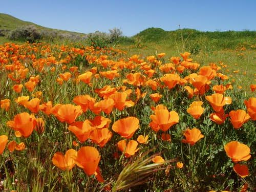 Orange Poppy Patch