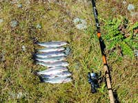 Trouts rainbow (Green lake, Rutor)