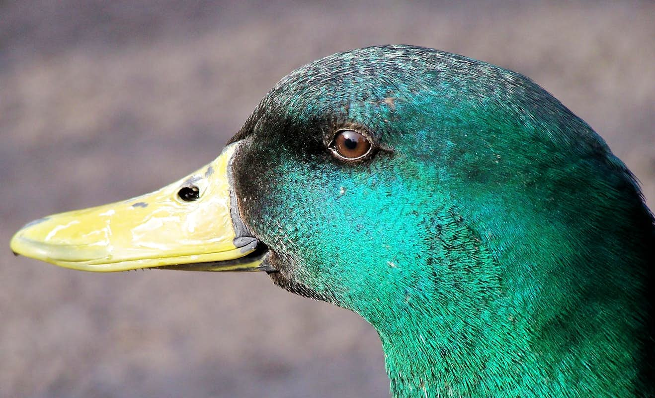 mallard dating site Ducks unlimited conserves, restores, and manages wetlands and associated habitats for north america's waterfowl these habitats also benefit other wildlife and people.