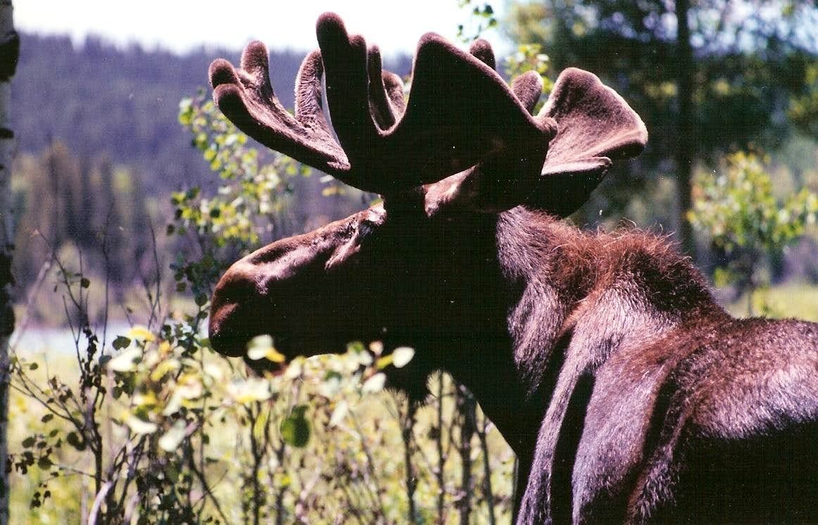Bull Moose near Oxbow Bend
