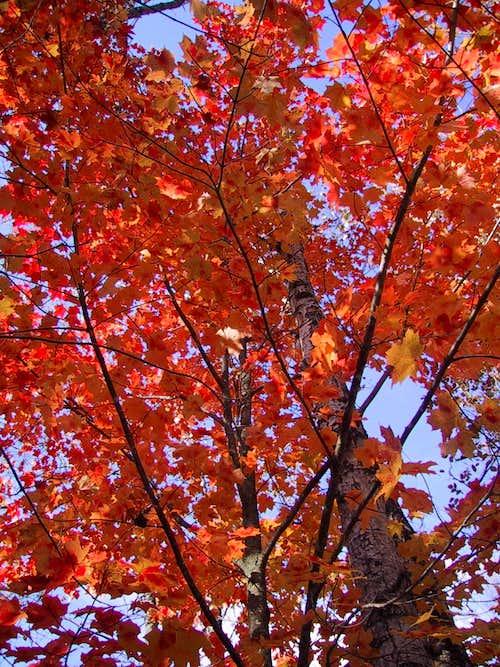 Maine Maples