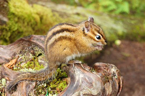 Chipmunk up-close
