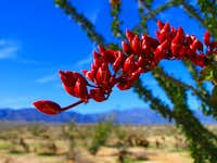 Ocotillo in the Californian Desert