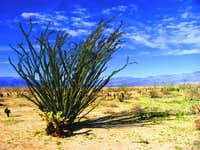 Ocotillo in the Californian Desert 2