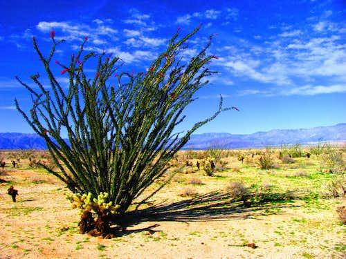 Ocotillo in the Californian Desert 2