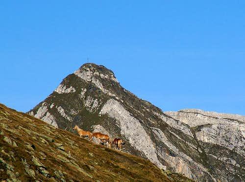 Haflinger Horses in front of Hohe Kreuzspitze / Monte Altacroce