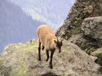 Chamois above Chamonix
