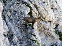 Ibex on Bovski Gamsovec