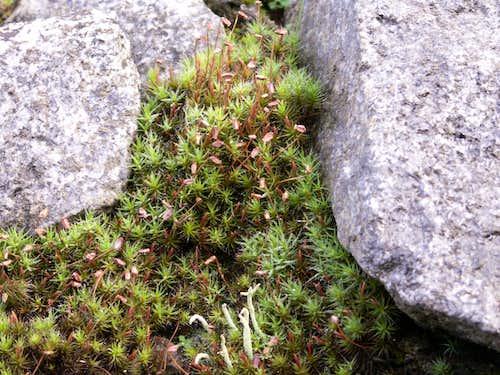 A lichen...