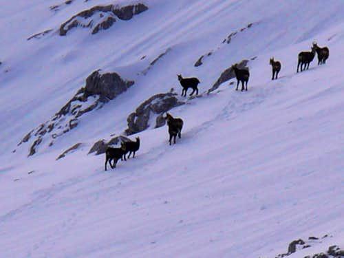 chamoix at the slopes of Niederer Gjaidstein