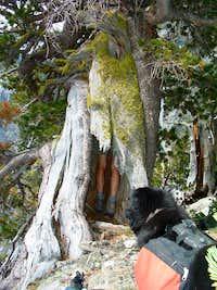Eaten by a Whitebark Pine