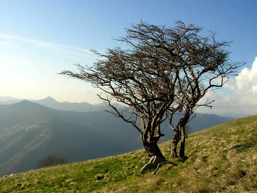Alpesisa and a strange tree
