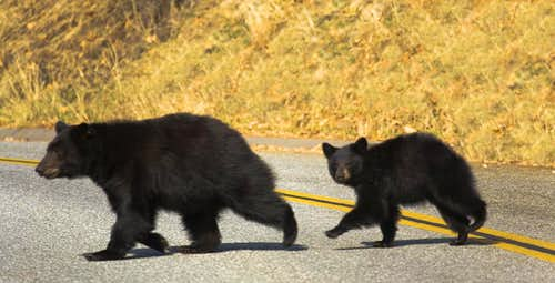 Black Bear and Cub/Sequoia Nat\'l Park