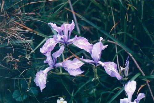 The Iris