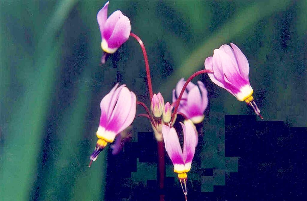 Dark-throat Shooting Star (Dodecatheon pulchellum)