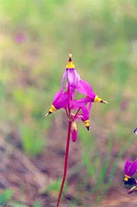 Sticky Shooting Star (Dodecatheon cusickii)