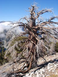 Cool Tree Near Cucamonga Peak