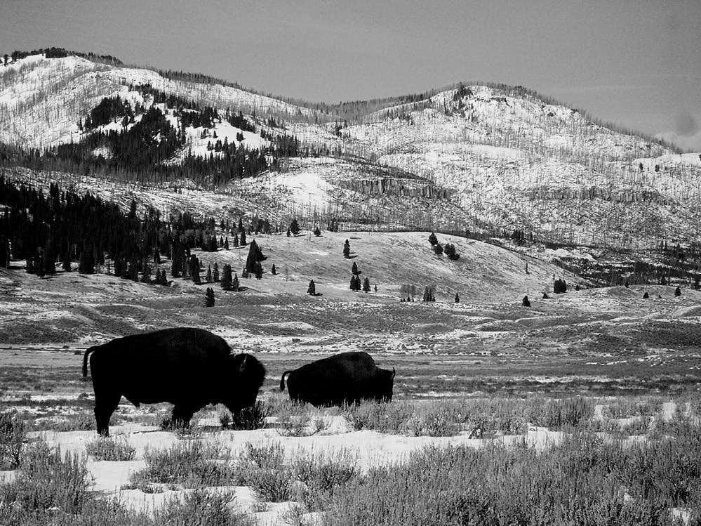 Bison in NE Yellowstone
