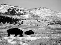 Bison in NE Yellowstone