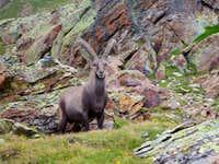 Ibex in the Monta Rosa region