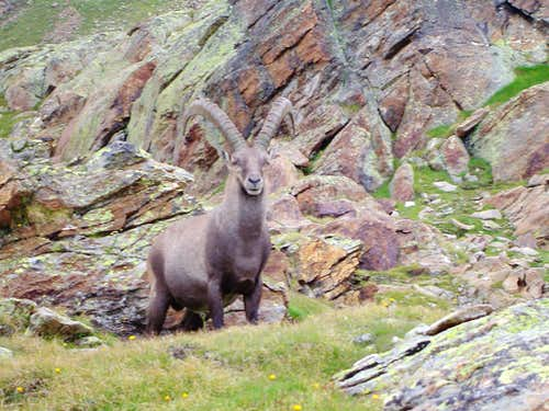 Ibex in the Monta Rosa region