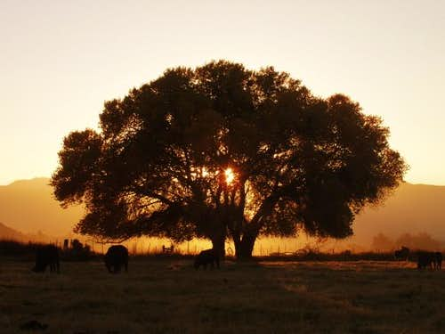 Oak at Sunset