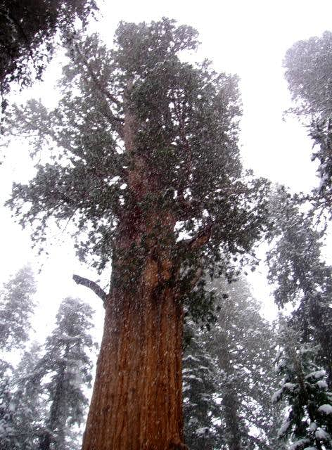 Snow falling on the largest tree in the world