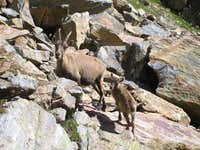 Animals around Saas Fee