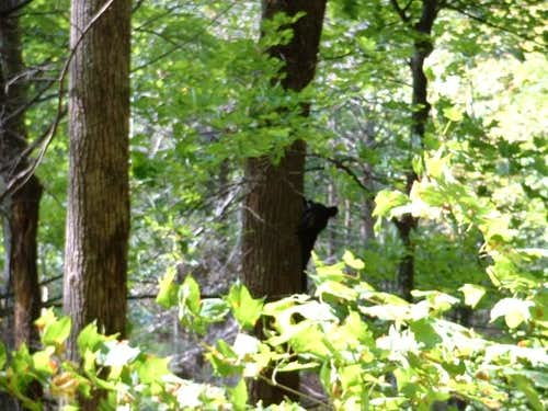 Bear in a tree on the way...