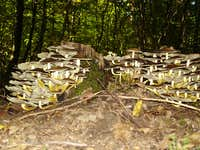 Fungi solitaire