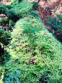 Flora at Balsam Lake Mountain Wilderness