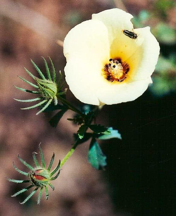 Desert Rose Mallow