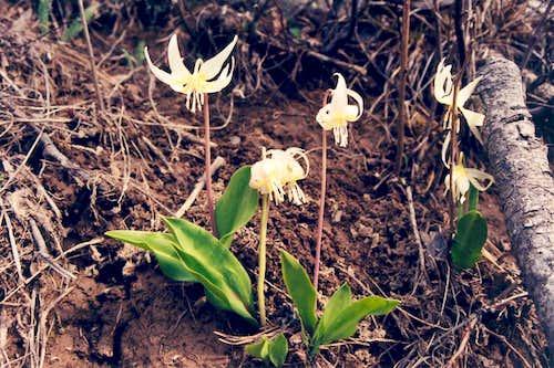 Pale Fawn-lily (Erythronium grandiflorum candidum)