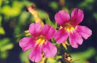 Great Purple Monkey-flower (Mimulus lewisii)