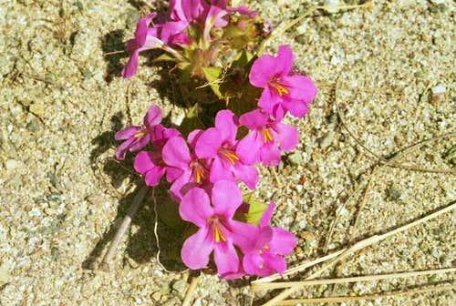 Cusick's Monkey-flower (Mimulus cusickii)