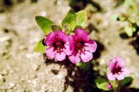 Dwarf Purple Monkey-flower (Mimulus nanus)
