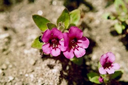 Dwarf Purple Monkey-flower (Mimulus nanus)