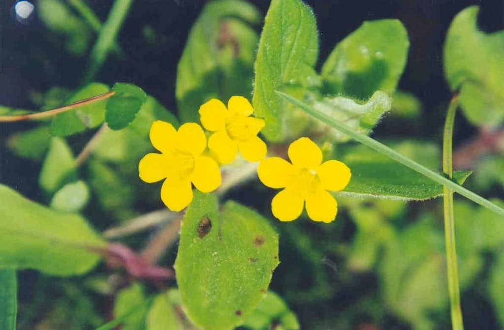 Musk-flower (Mimulus moschatus)