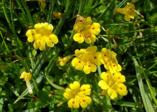 Tiny Monkeyflowers