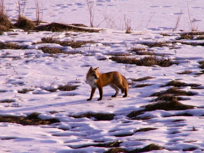 Red fox 2.0
