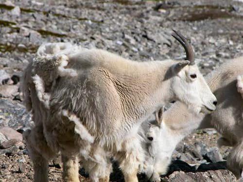Grays 1/8/2003 - a few goats...