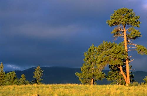 Ponderosa and Early-Morning Light