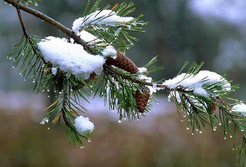 Virginia Pine and Snow