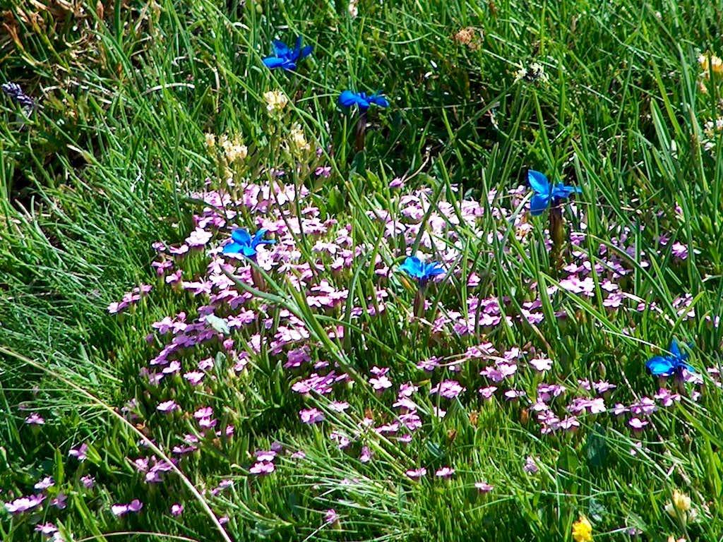 Austrian wildflowers: Alpine gentian and Red Campion