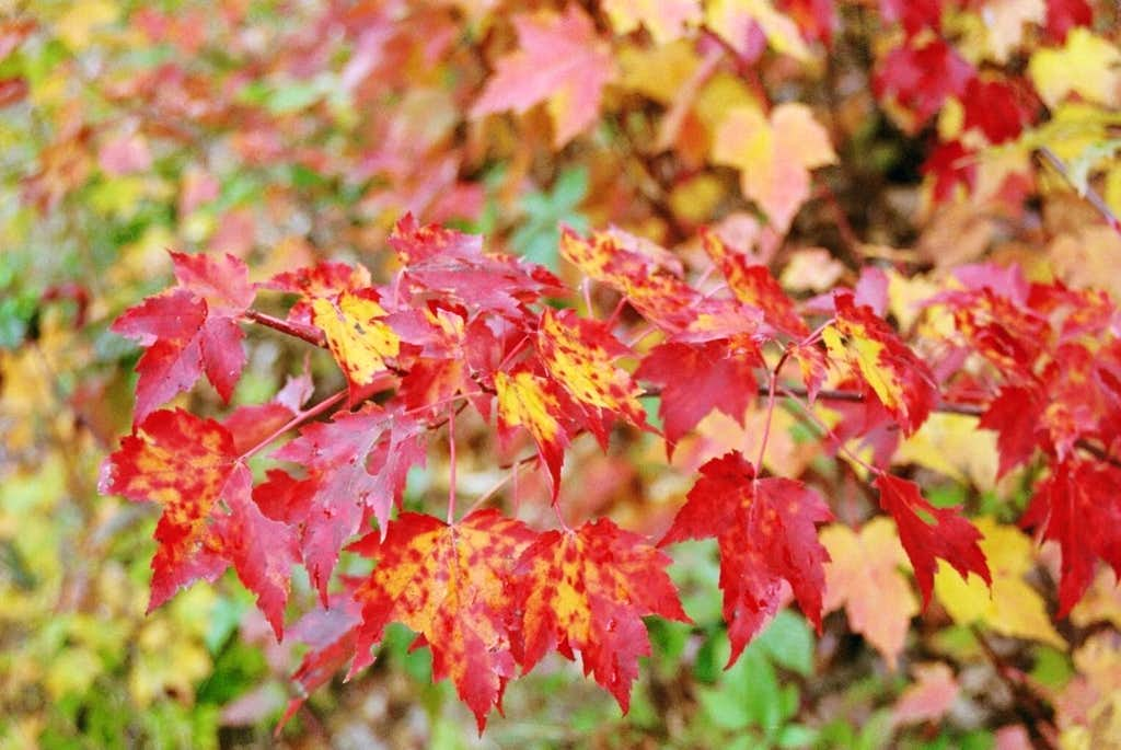 New Hampshire Red Maple
