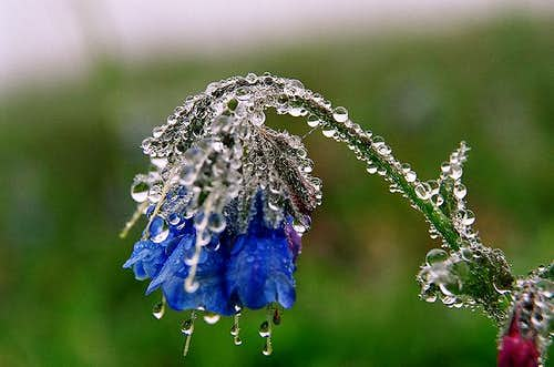 Tears of the Flower