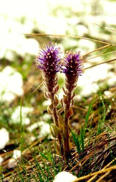 Wyoming Besseya (Besseya wyomingensis)