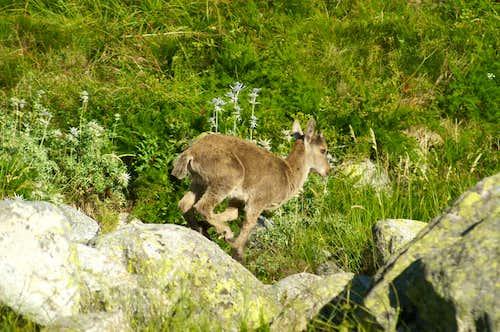 Baby Gredos ibex running