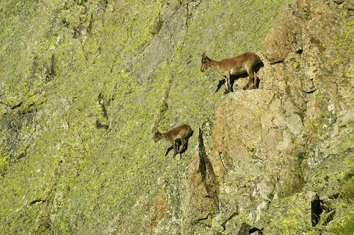 Gredos ibex rock climbing